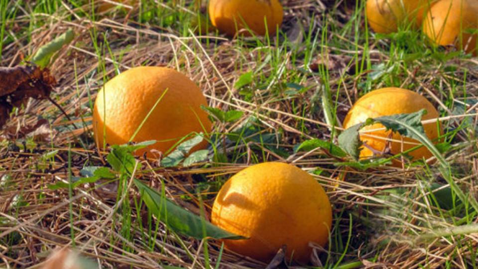 Fallen oranges on the grassy ground